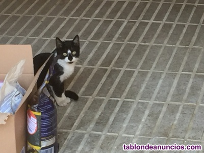 Se regala gatito blanco y negro