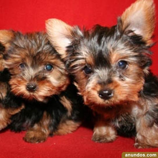 Preciosa camada de cachorros de yorkshire tenemos machos y -