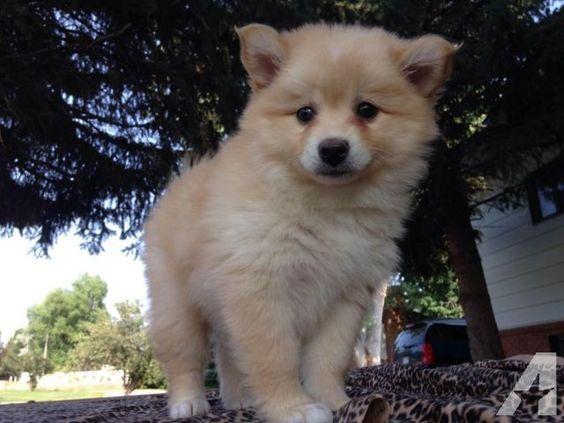 Cachorros Pomsky para adopciónn