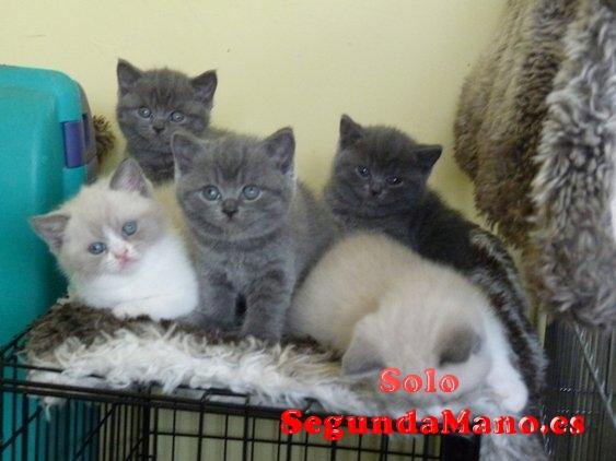 Preciosos gatitos de maine coon