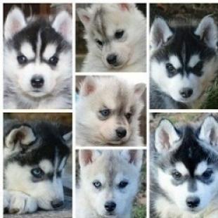 dos cachorros pomsky para adopcion