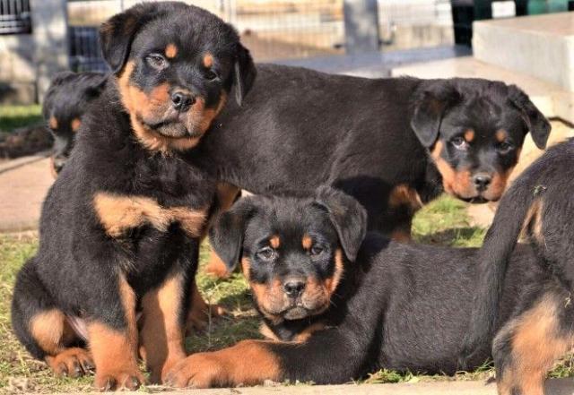 ¡Kc Cachorros Rottweiler Registrados a la Regalo!