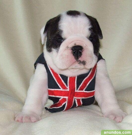 Cachorros de bulldog inglés de 11 semanas de edad