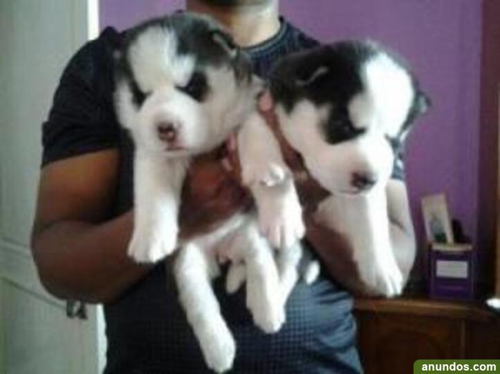 Cachorros de husky siberiano para nuevos hogares en navidad