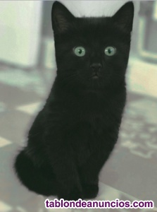 Gatito negro macho en adopción