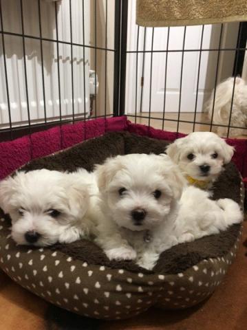 Regalo cachorros de bichon maltes para adopcion