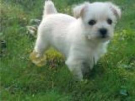 Mini Toy Cachorros Bichon Maltes para su adopcion PARA