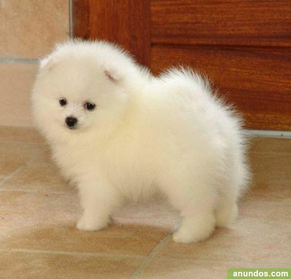 Regalo cachorros de pomerania toy cachorros de pomerania