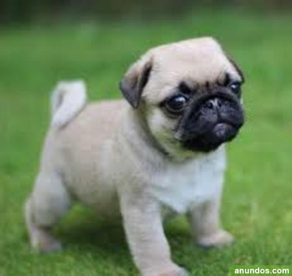 Vv carlino pug cachorros de carlino, regalo lindo cachorros