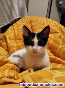 Se regala gato de mes y medio en valencia
