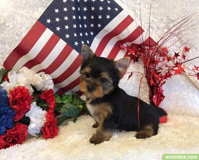 Regalo increíble cachorro de yorkshire terrier! -