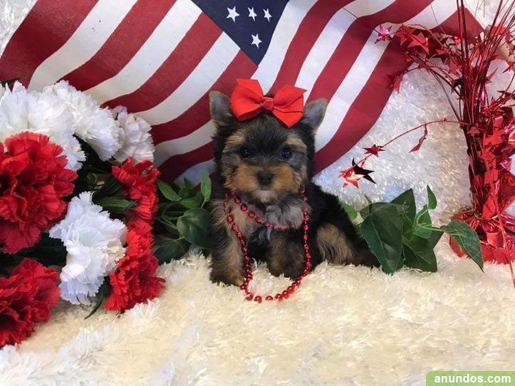 Regalo preciosos cachorros de yorkshire terrier - Almócita