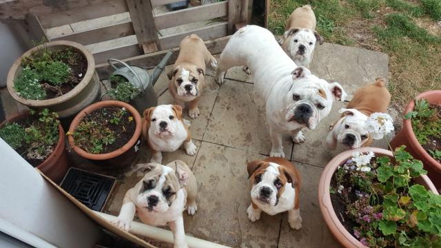 Adorables cachorros de Bulldog Inglés