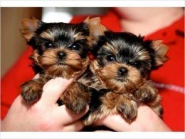 Cachorros Yorkie pequeños de pura raza