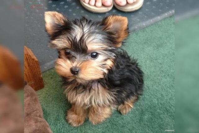 Regalo Cachorros Yorkshire Terrier Mini Toy PARA NAVIDAD