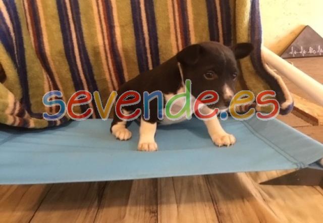 REGALO Cachorros Basenji PARA Adopcion REGA