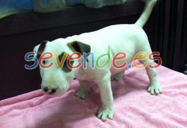 REGALO Preciosos cachorros de Bull Terrier PA
