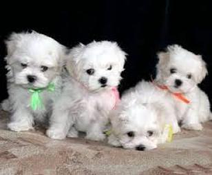 REgalo lindo bichon maltes cachorros en adopcion