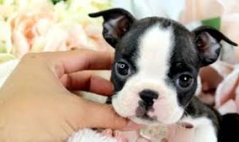 Regalo boston terrier cachorros lista