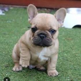 Regalo lindo bulldog frances cachorros