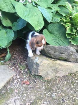 Regalo mini juguete beagle cachorros para adopción