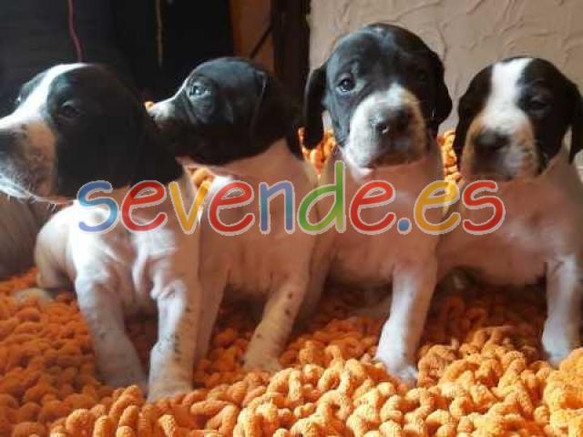 Hermosos cachorros de puntero inglés