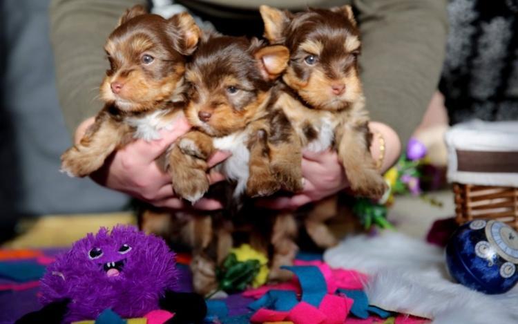 Cachorros de Yorkie Terrier para adopcion