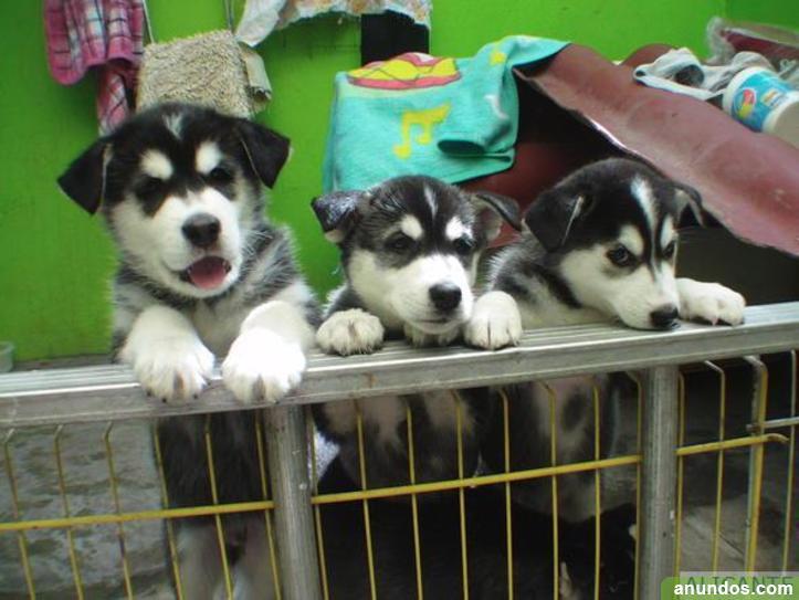 Camadas de husky siberiano ojos azules con pedigree loe,