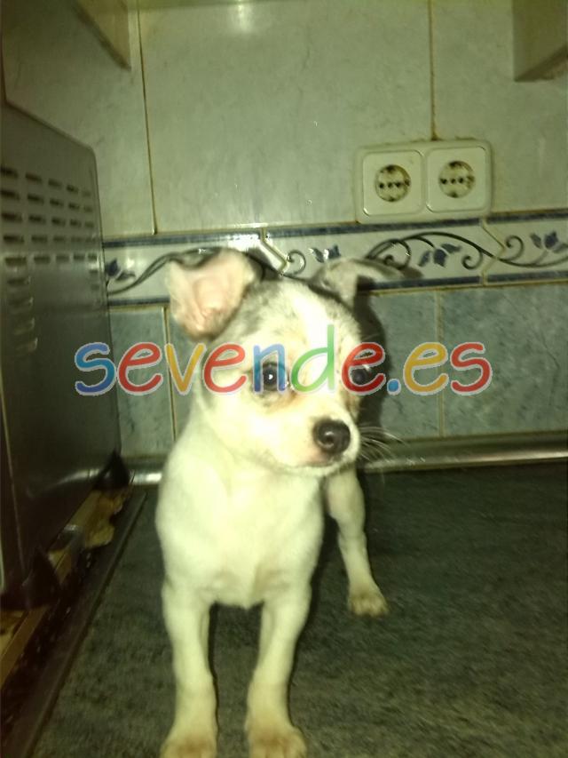 Precioso chihuahua macho color blanco y merle
