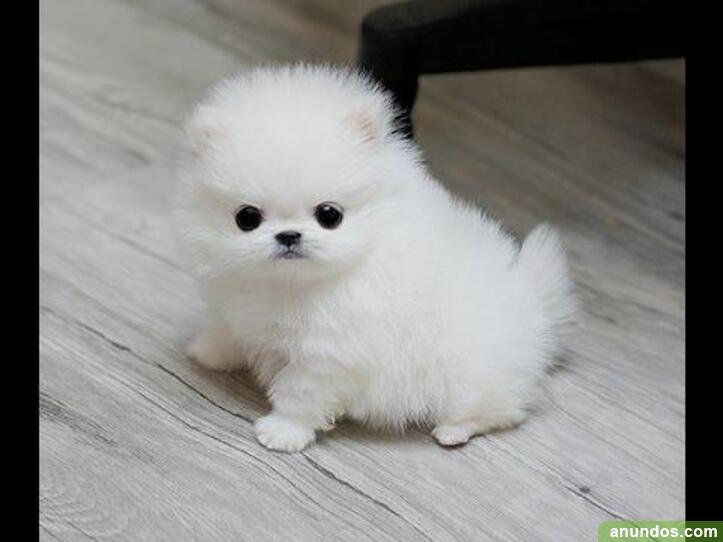 T-cup tiny pomeranian puppies disponible ahora - Arenys de