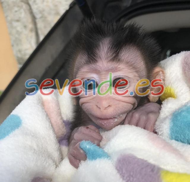 bebé mono capuchino listo para un nuevo hogar