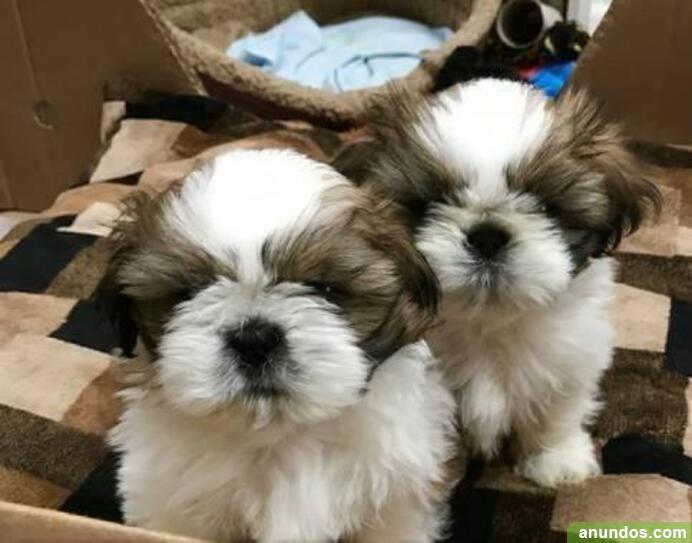 Regalo macho y hembra shih tzu cachorros su adopcion -
