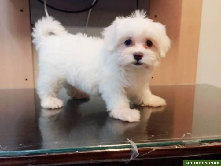 Cachorros malteses cachorros malteses - Aljaraque