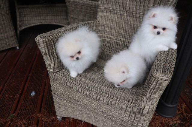 Regalo Cachorros Pomeranian Mini Toy para su adopcion libre,
