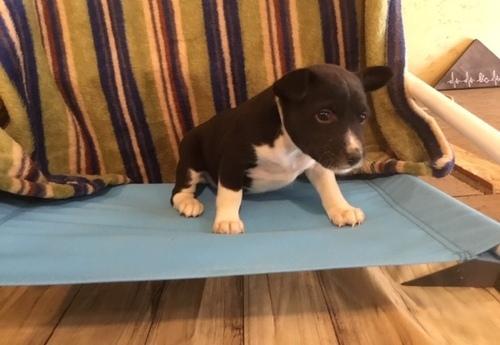 REGALO Cachorros Basenji PARA Adopcion REGALO sdddffffad R