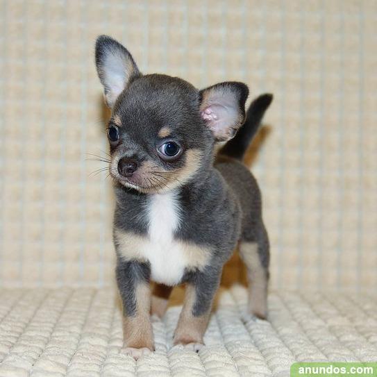 Regalo cachorros chihuahua para adopcion.. - Madrid Ciudad