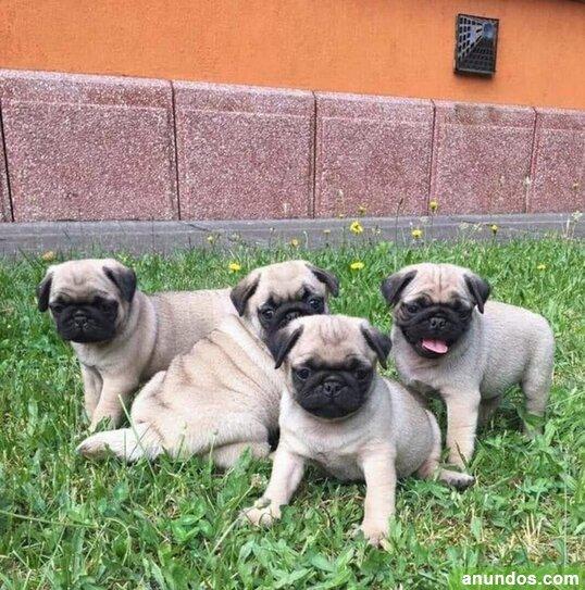 Regalo cachorros carlino pug para adoption - Aizarnazabal
