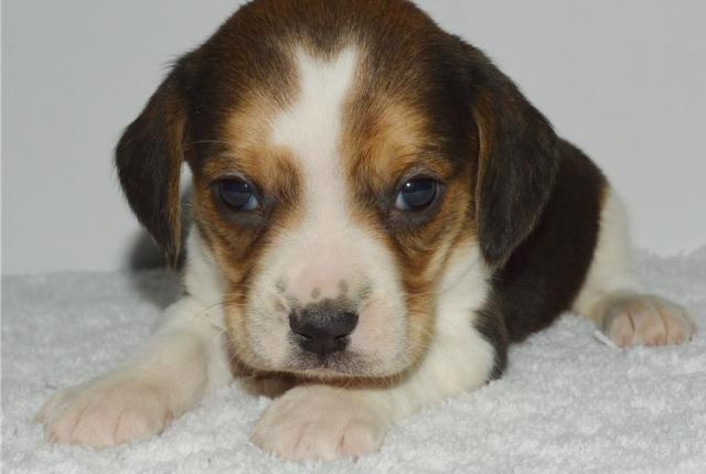 Adorables cachorros Beagle para adopción.