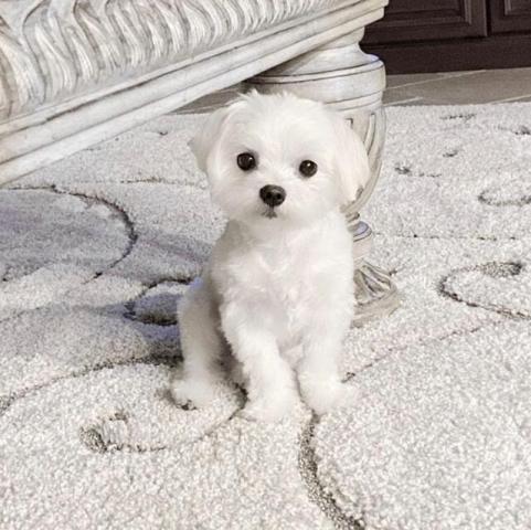 Adorables cachorros malteses más lindos para adopción