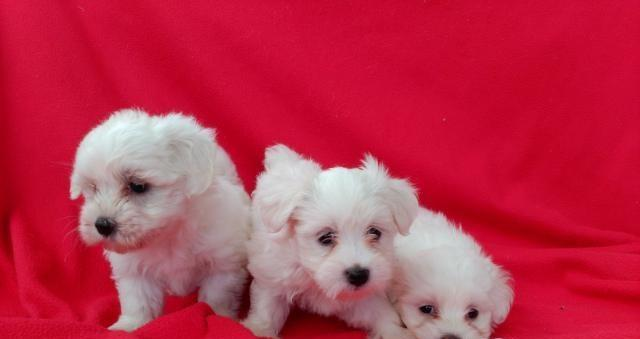 Mini Toy Cachorros Bichon Maltes