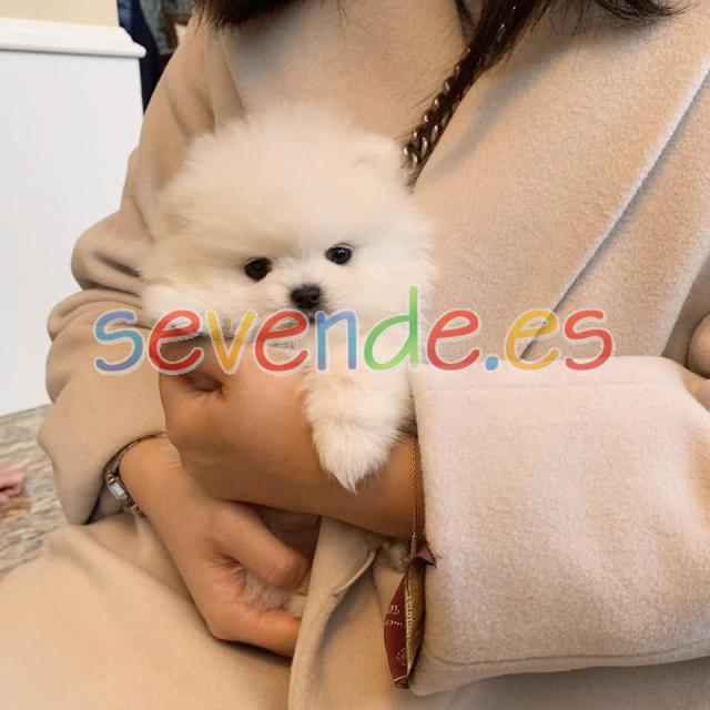 Cachorros Pomerania de 12 semanas para adopci