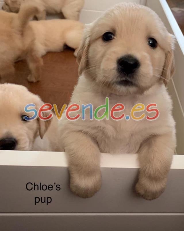 Regalo Impresionate Cachorros Golden Retrieve