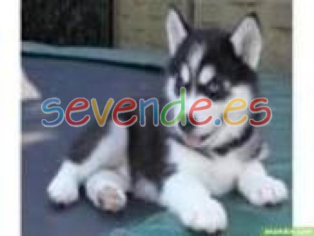 hermosos cachorros Husky para adopcion 1 mach