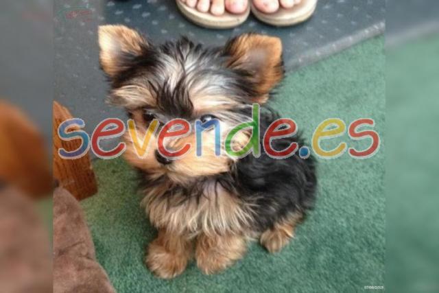 hermosos cachorros POMERANIAN para adopcion 1