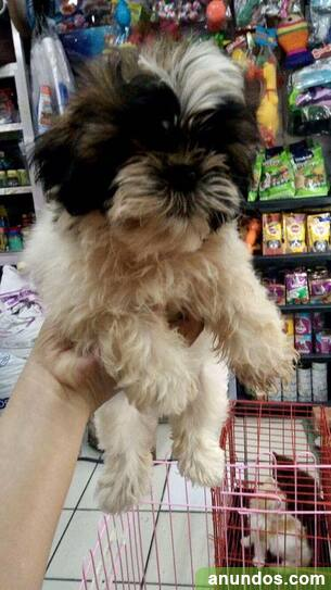 Cachorros shih tzu registrados - Alfoz de Lloredo