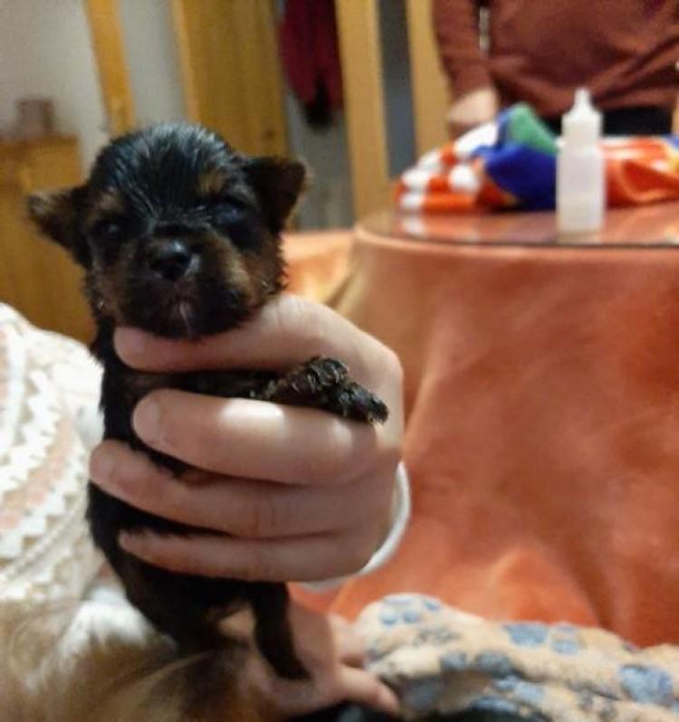 Se venden cachorros de Yorkshire