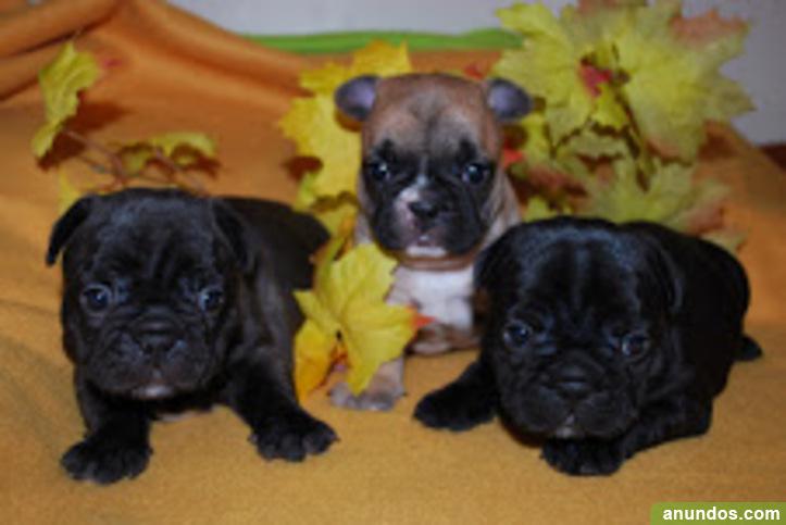 3 cachorros de bulldog francés disponibles - Aguilar de