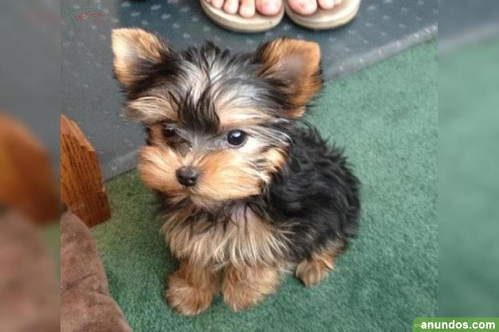 Cachorros yorkshire terrier de alta calidad a la venta -
