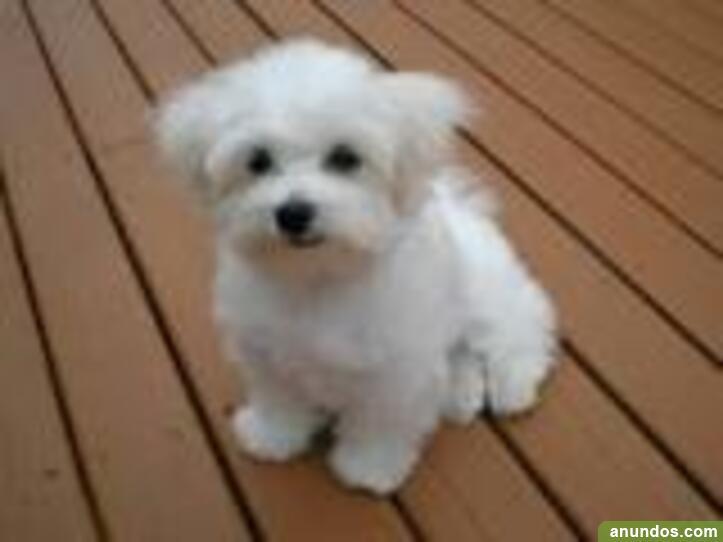 Hermosos cachorros de bichon frise macho y hembra -
