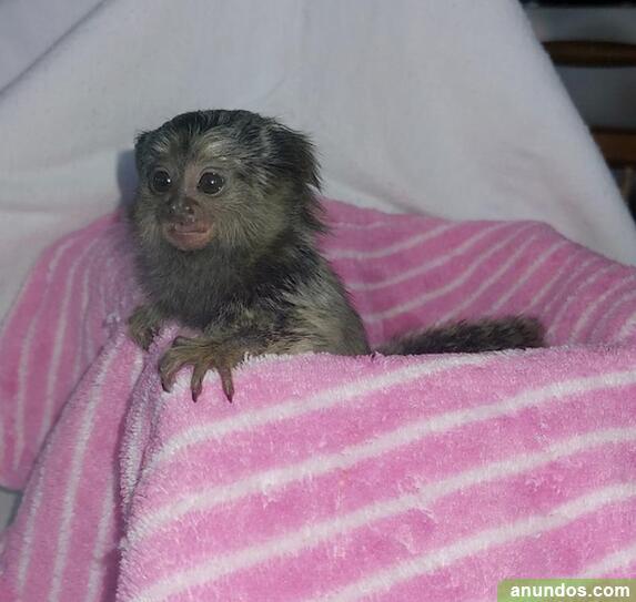 Monos ardilla, capuchinos, - Anglesola